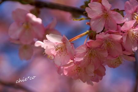 三浦海岸~河津桜-043