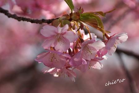 三浦海岸~河津桜-094