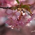 写真: 三浦海岸~河津桜-094