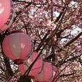 写真: 三浦海岸~河津桜-101