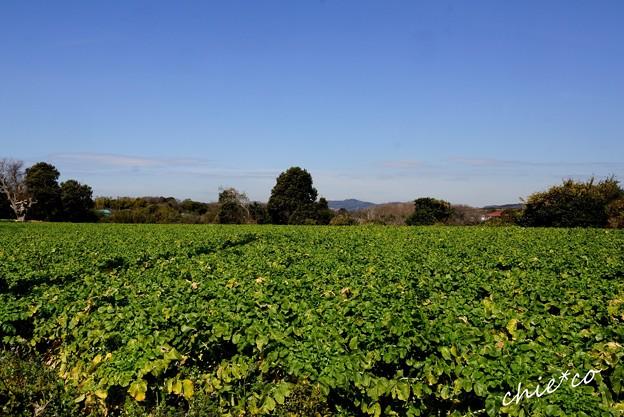 大根畑のある風景・・