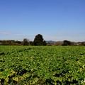 写真: 大根畑のある風景・・