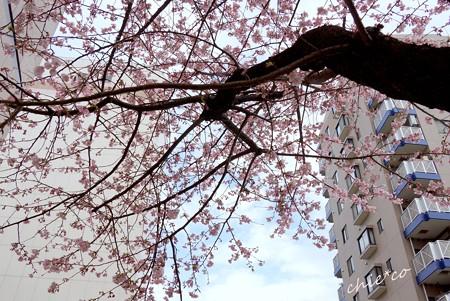 大寒桜-010