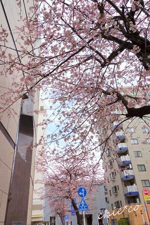 大寒桜-013