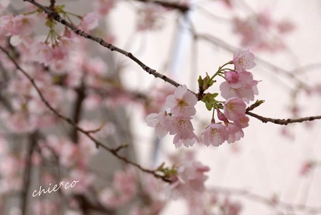 大寒桜-018