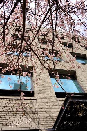 大寒桜-042