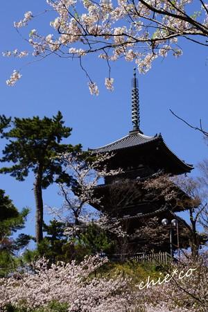薄墨桜と・・ソメイヨシノが彩る三重塔・・
