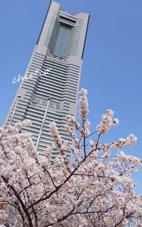 みなとみらい桜景色-004