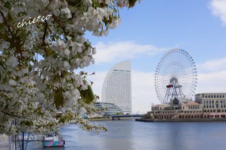 みなとみらい桜景色-014