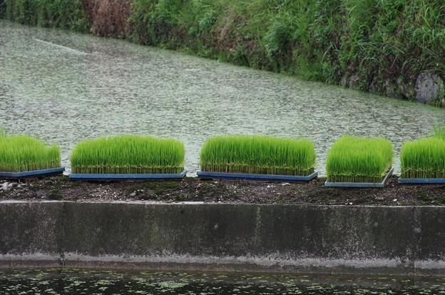 やっと梅雨 田植えの準備