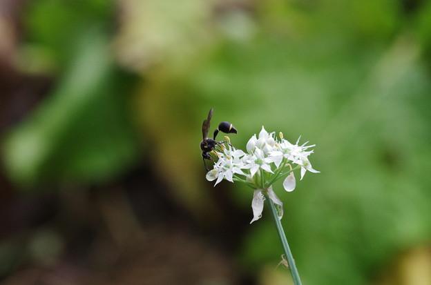 ニンニクの花とスズバチ?