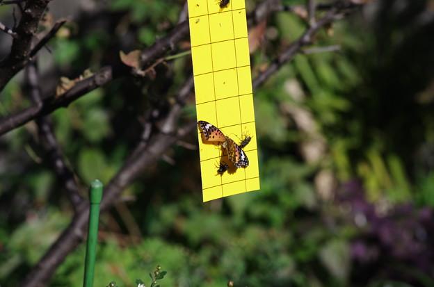 トリモチの板?に付いたツマグロヒョウモンと虫たち