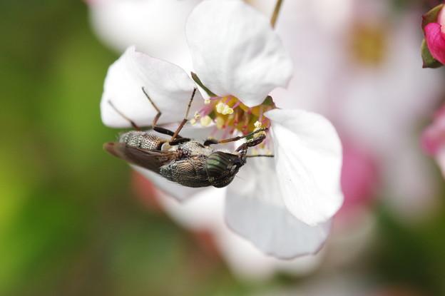 春うらら3 ピンク色のユキヤナギにツマグロキンバエ 等倍