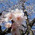 写真: そんな荒んだ心にも桜w