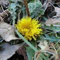 Photos: 日陰に咲くたんぽぽ