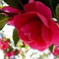 八重咲の山茶花