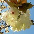禄剛崎の桜 ?