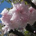 禄剛崎の桜