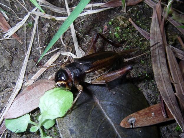 エンマコオロギ ♀