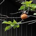 柿の木 切り取り