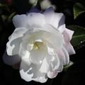 お庭の山茶花