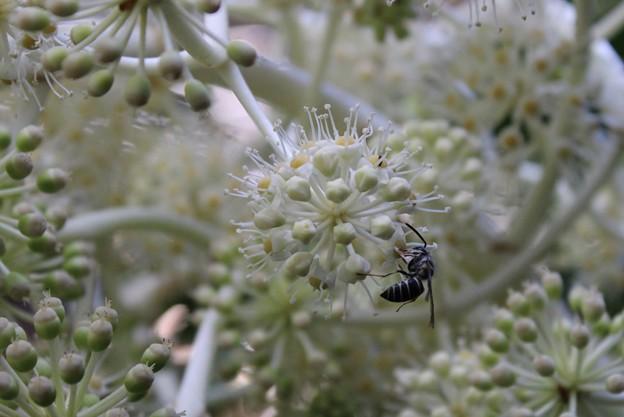 ヤツデの花に来たクロスズメバチ(地蜂)