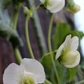 えんどう豆の花が咲いた