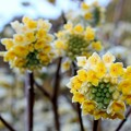 鮮やかなミツマタの花