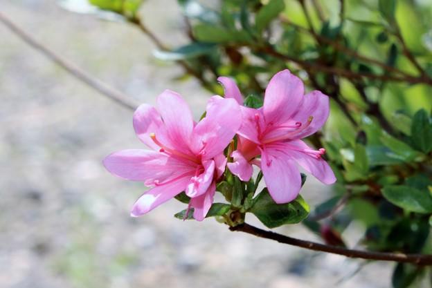 4月に咲くサツキ