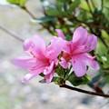 Photos: 4月に咲くサツキ