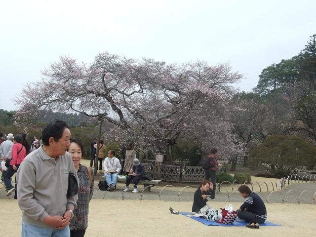 二期咲き桜満開
