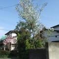 Photos: 桜とモクレン