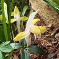 黄花シュンラン