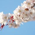 写真: 左近桜