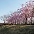 写真: 花追橋の八重紅枝垂