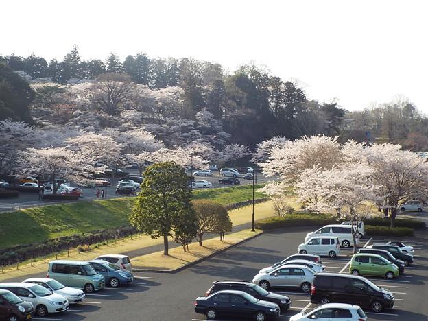写真: 桜山