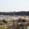 写真: 千波湖畔の桜