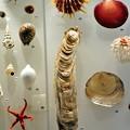 写真: 科博のかきの標本でかすぎ