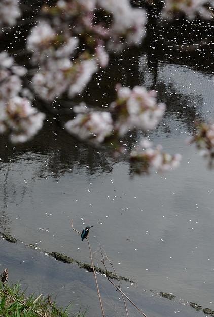 お花見カワセミ