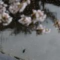 Photos: お花見カワセミ