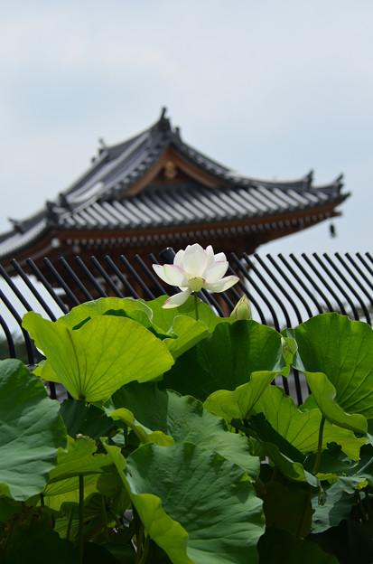 Photos: お寺のハス4