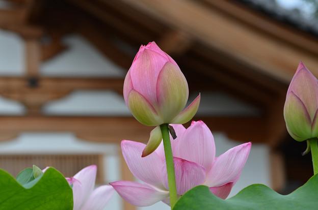 Photos: お寺のハス5