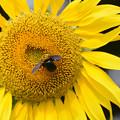 Photos: 向日葵とクマバチ