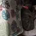 Photos: その横のロトが寝てたちいさなベッドで小さくなって寝る葉月。