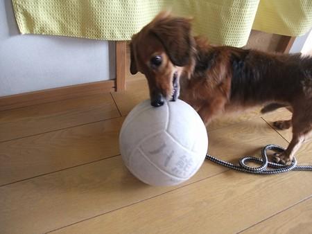 大きなボールも転がして遊びます