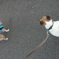 Photos: 先住犬の「チチ」ちゃん(笑)