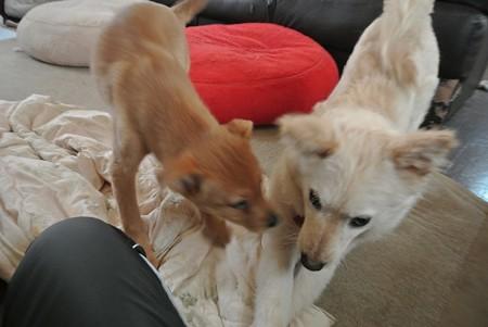 子犬同士仲良く遊ぶ
