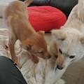 Photos: 子犬同士仲良く遊ぶ