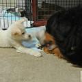 Photos: 大きな犬にも喜ぶ仔犬たち(人より犬が好き)
