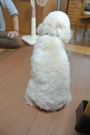 私の大好きな犬の後姿♪